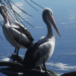 Pelican sitting on a branch beside the Myall Lakes